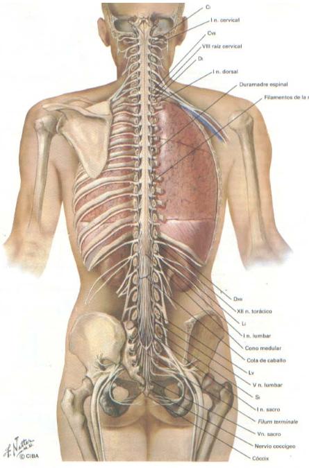 ANATOMIA DEL SISTEMA NERVIOSO - Neurociencias y Neurocirugia